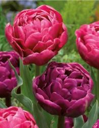 Тюльпан махровый розовый и кремовый (луковицы, 12)