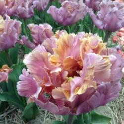 Тюльпан простой поздний Йосемит (луковицы, 10)