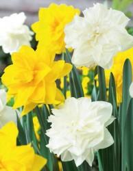 Нарцисс белый и жёлтый (луковицы, 12)