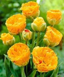 Тюльпан махровый поздний Дабл Бьюти Оф Апельдорн (луковицы, 10)