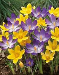 Крокус ботанический фиолетовый и желтый (луковицы, 40)