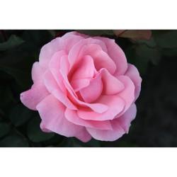 Роза чайно-гибридная Квин оф Ингланд (в тубе)