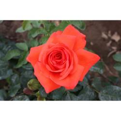 Роза чайно-гибридная Самме Холидэй (в тубе)