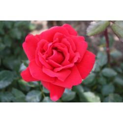Роза плетистая Орфео (в тубе)