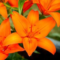 Лилия азиатская Оранж Тон (луковицы, 1)