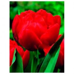Тюльпан Викинг, луковицы 3шт