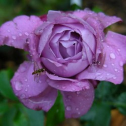 Роза Чайно-гибридная Блю Лейк (в тубе)
