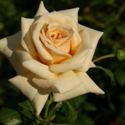 Роза Чайно-гибридная Карамель (в тубе)