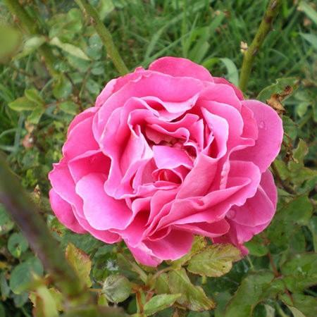 роза чайно-гибридная пинк пис (в тубе)