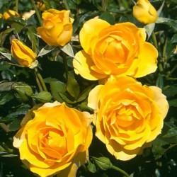 Роза Флорибунда Голден Дримс (в тубе)