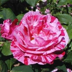 Роза Парковая Фердинанд Пичард (в тубе)