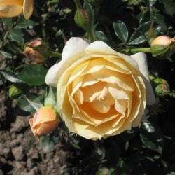 Роза Почвопокровная Эмбер Виэл (в тубе)