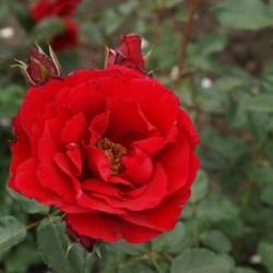 Роза Плетистая Симпати (в тубе)