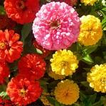 Циния георгиноцветковая Пелито дварф микс 0,4г