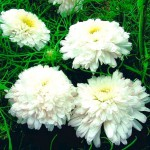 Хризантема Наряд невесты, букетная (СР) 0,1г 703514